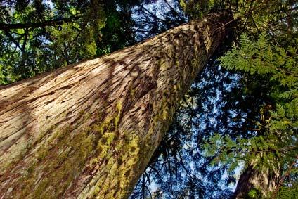 cedarwood tree