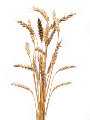 Bunch of Golden Wheat